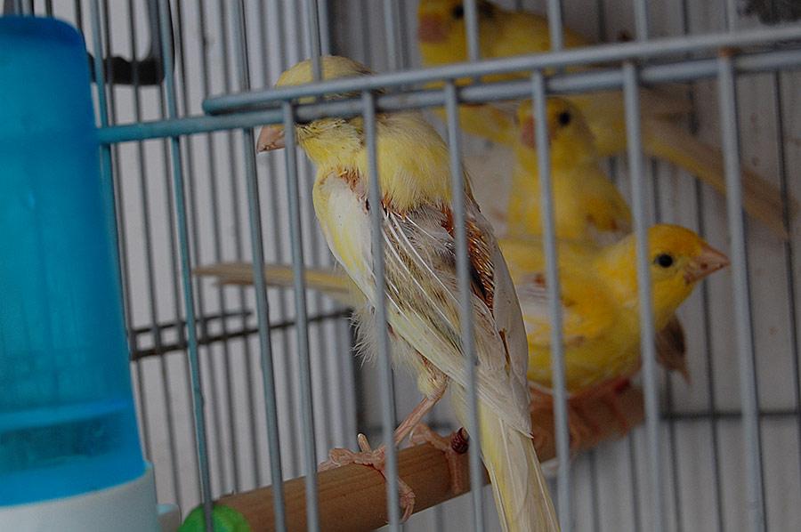 picaje en canarios