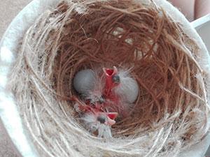 huevos faslsos en nido