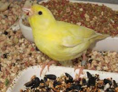 Comida para canarios