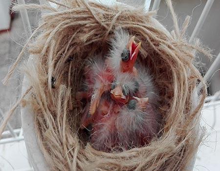 Temporada de cría en canarios