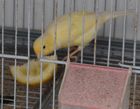 limones para canarios